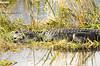 Alligator (Anhinga trail)