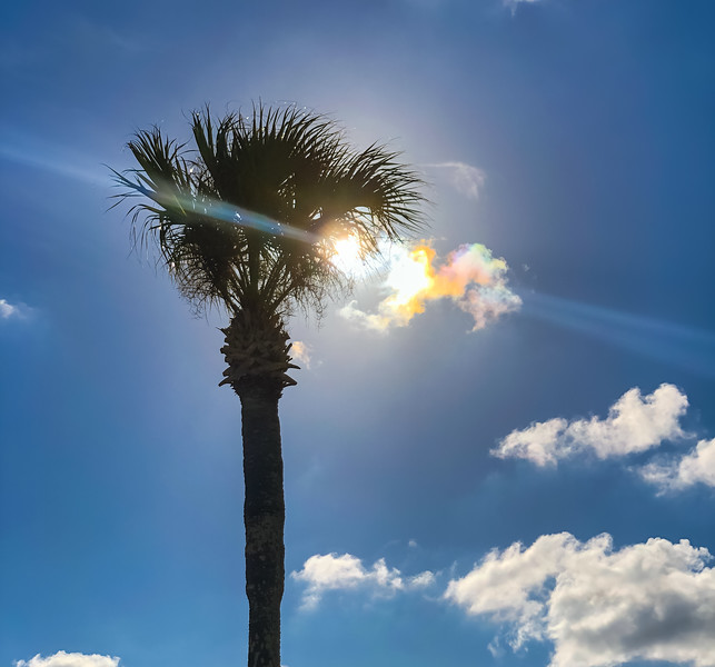 Palm Tree in Davis Shores