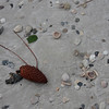 what is a red pine cone doing on the beach?