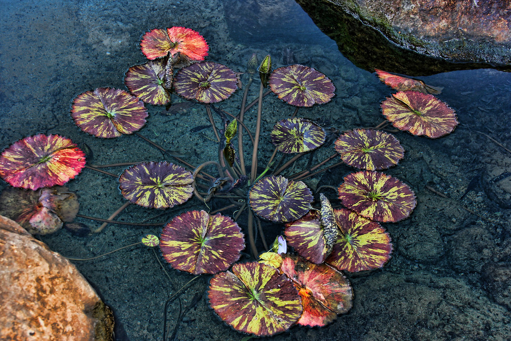 Beautiful Lily pads, in Maui
