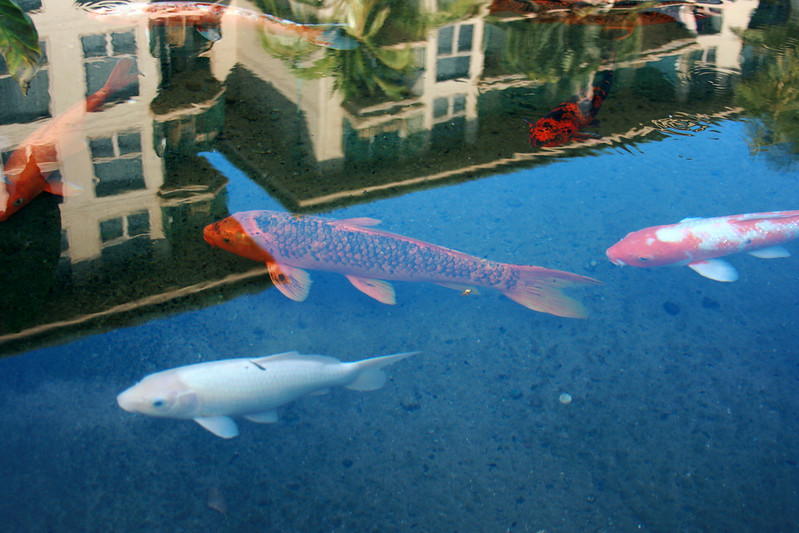 Goldfish/ Koi in Maui