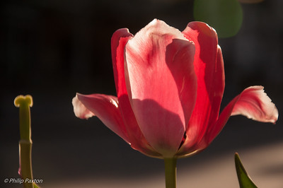 Tulip in sunlight