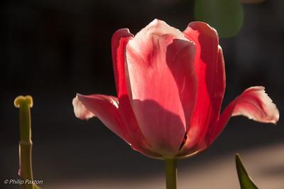 Tulip in sunlight