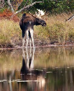 Moose03
