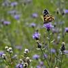 Butterfly, Glacier National Park