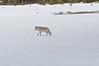 077  United States - Yellowstone National Park, lone wolf