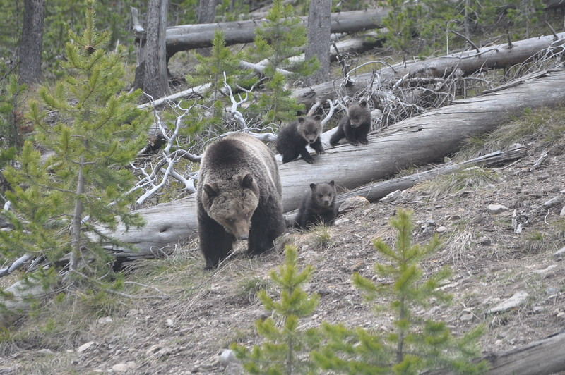 088  United States - Yellowstone National Park, grizzly bear with children