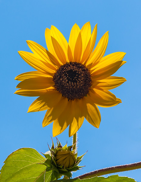 Sunflower in Amish Country