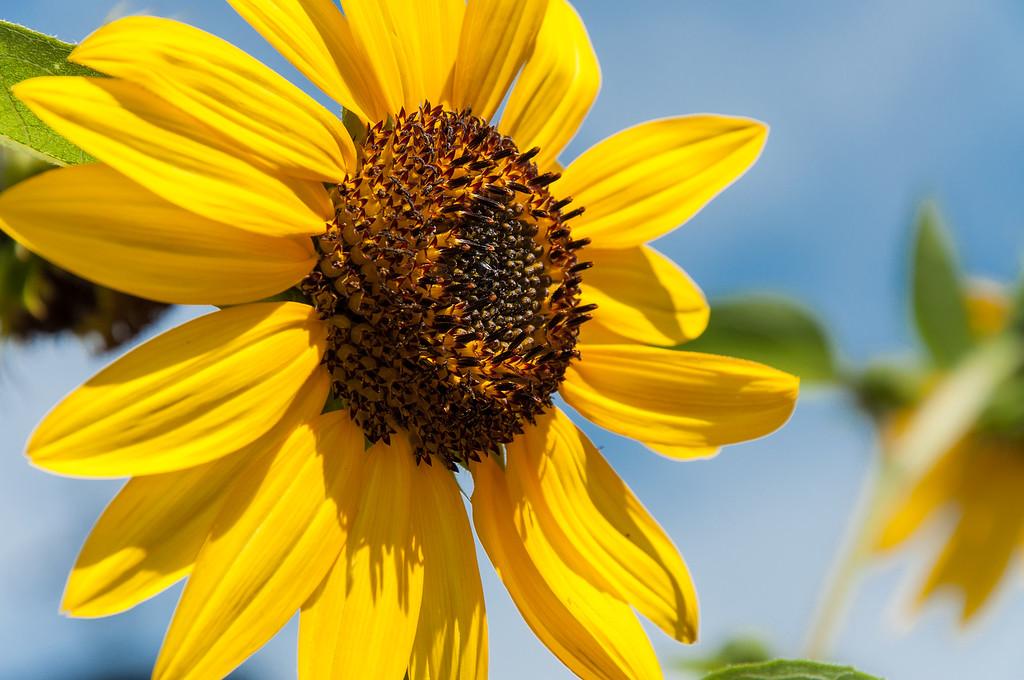 Sunflower. Taken in Amish Country, Berlin, Ohio.