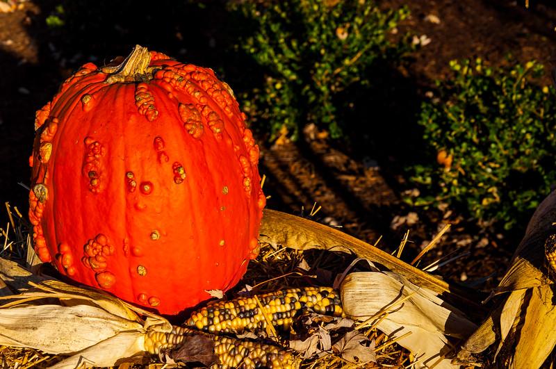 Pumkin In The Fall Sunlight