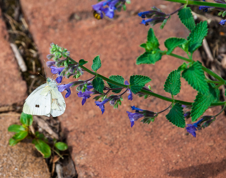 A Cabbage White butterfly at Price Park