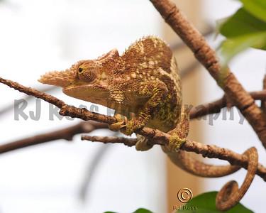 Fisher's Chameleon (Chamaeleo fischeri)