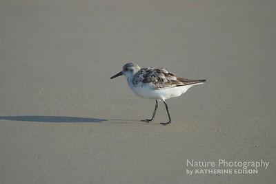 Sanderling. Corolla, Outer Banks, North Carolina. 2012.