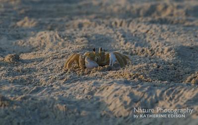 Ghost Crab. Corolla, Outer Banks, North Carolina. 2012.