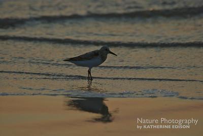 Sanderling Sunrise. Corolla, Outer Banks, North Carolina. 2012.