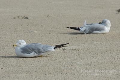 Ringbilled Gulls. Corolla, Outer Banks, North Carolina. 2012.