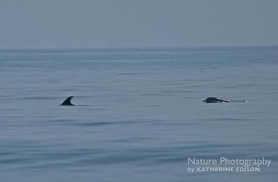 Dolphins. Corolla, Outer Banks, North Carolina. 2012.