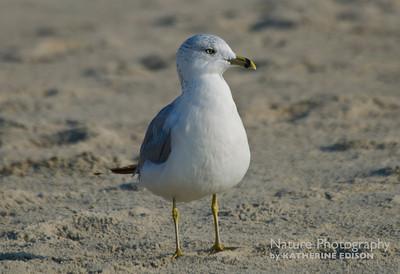 Ringbilled Gull. Corolla, Outer Banks, North Carolina. 2012.