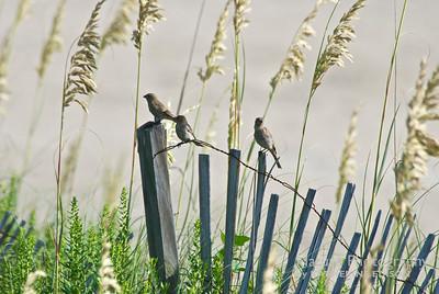 Finches. Corolla, Outer Banks, North Carolina. 2012.
