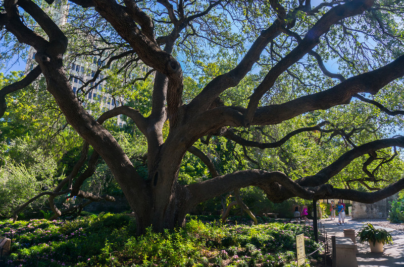 Massive tree inside the Alamo