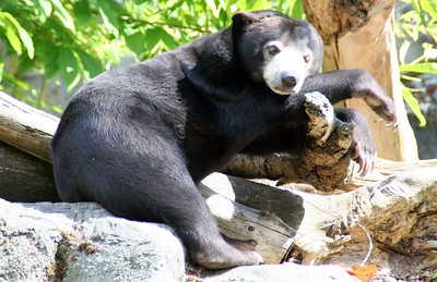 Sun bear. The sun bear is the smallest of all seven bear species. There are three other species of Asian bears. The sloth bear is found in India and Sri Lanka. The Asian black bear ranges in Afghanistan, Pakistan, northern India, Myanmar, extreme southern China, Korea, Japan and Indochina.The Asian brown bear is widely distributed across much of northern Asia although current population numbers in many areas are unknown.  Of the four species, the sun bear is the most southerly ranging ursid in Asia.