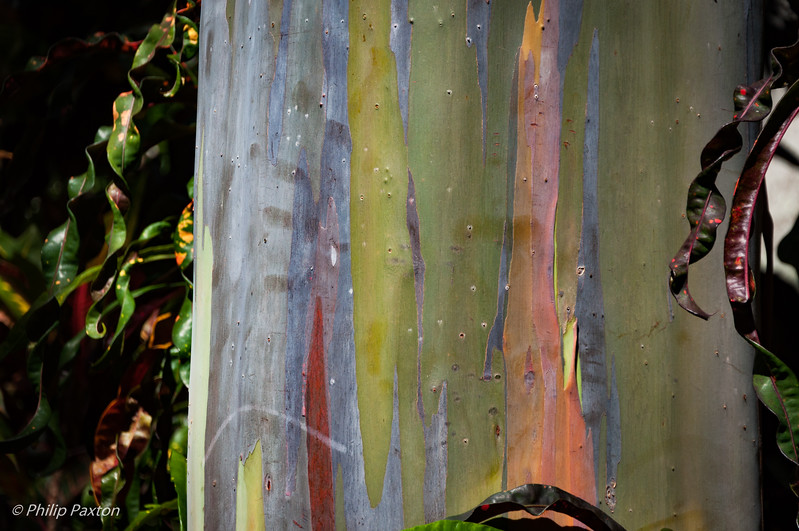 Rainbow Eucalyptus Trunk