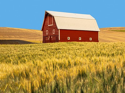 Classic red barn in a field of wheat