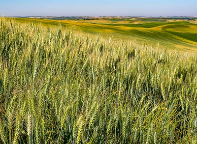 The Palouse is a mjor source of a variety of wheat .