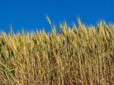 Wheat ...early in its growth cycle.