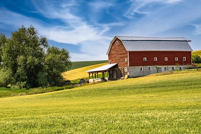 Wheat and canola fields surround this barn