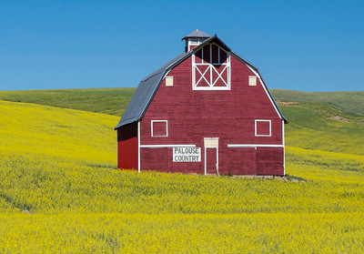 Barns, espcially red ones, stand out in canola fields.