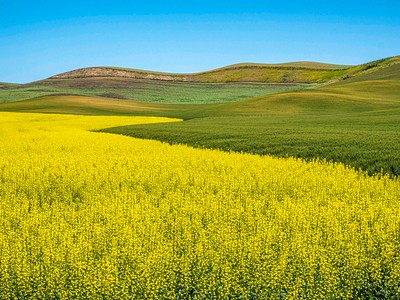 Canola fields of bright yellow are common in 2021.