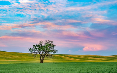 Sunset in the Palouse with lone tree