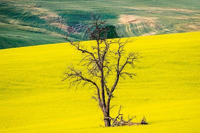 Lone tree in canola field