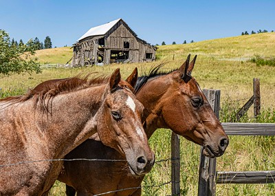 Palouse is horse country