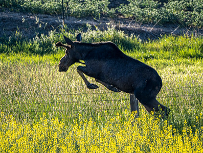 Moose jumping fence