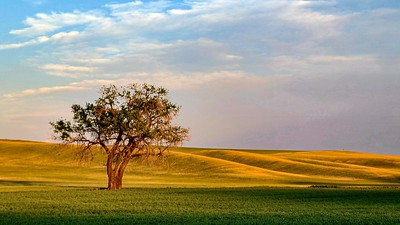 Lone tree during golden hour