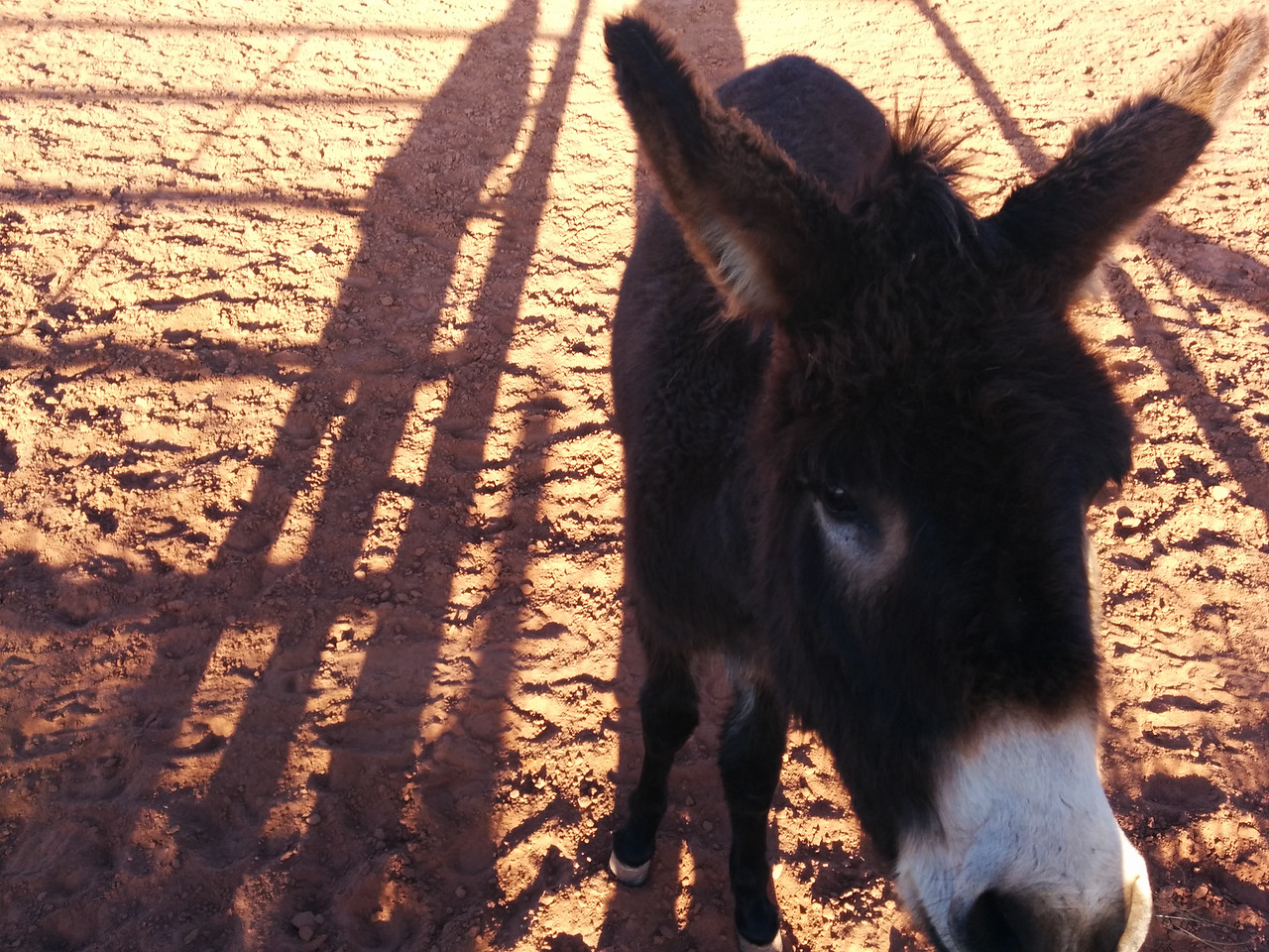 A morning greeting from one of the two donkeys.  This one's name is Chocolate.