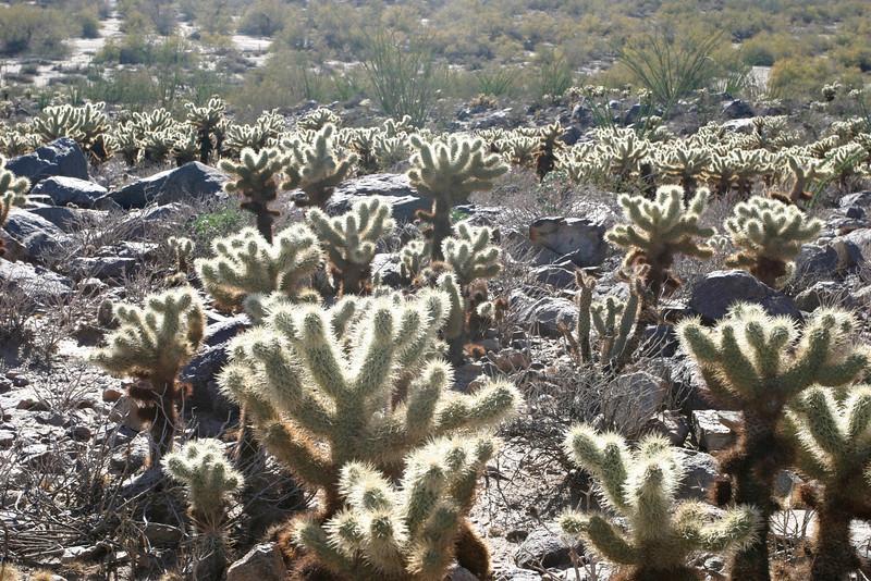 Buckhorn cholla (opuntia acanthocarpa) grow throughout the Anza-Borrego desert.