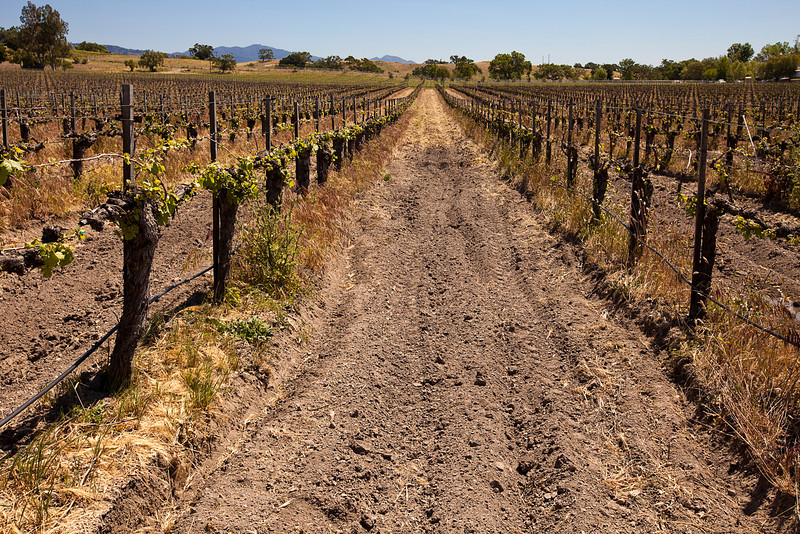 One long lane in a vineyard between two rows of grapes. The area in the middle has been plowed and is used by tractors to get from one end to the other.