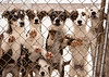 A litter of seven puppies in training to become sled dogs stand and wait for visitors behind a chain link fence.