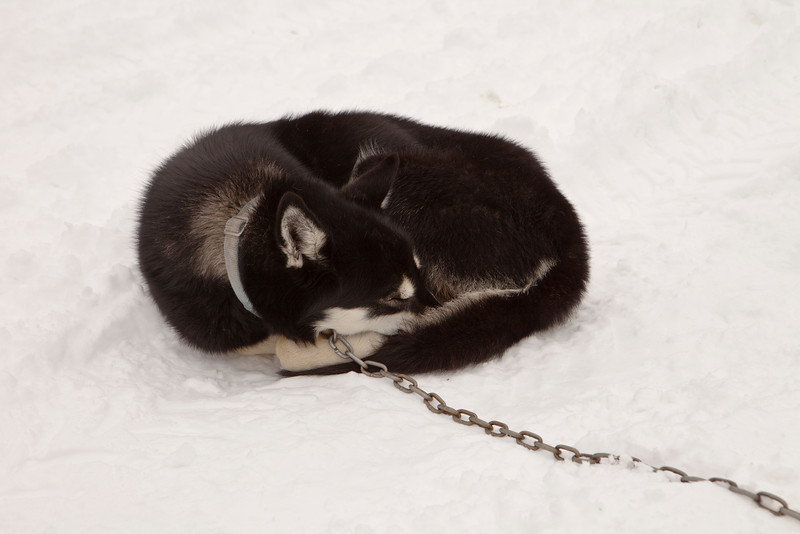 A sled dog sleeping outdoors in the snow while curled up into a ball.