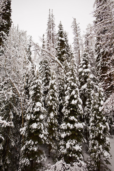 A vertical perspective of evergreen trees with branches heavily laden with snow in winter.