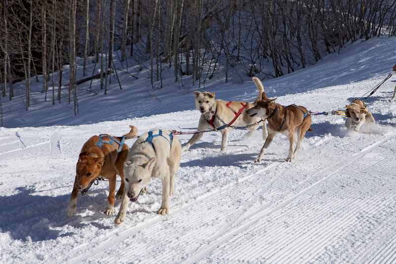 A team of sled dogs in their very first training run. The rookie dogs are learning how to pull together as a team while attached to the gangline.