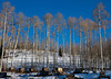 A stand of aspen trees in winter sets the backgrond for the plywood shelters of a sled dog kennel in Colorado.