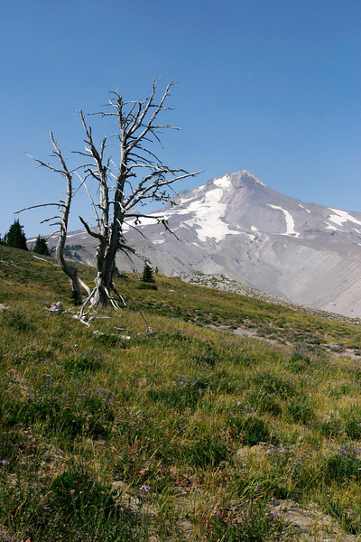 The skeleton of a dead tree on Mount Hood illustrates the harsh conditions that exist high on the mountain.