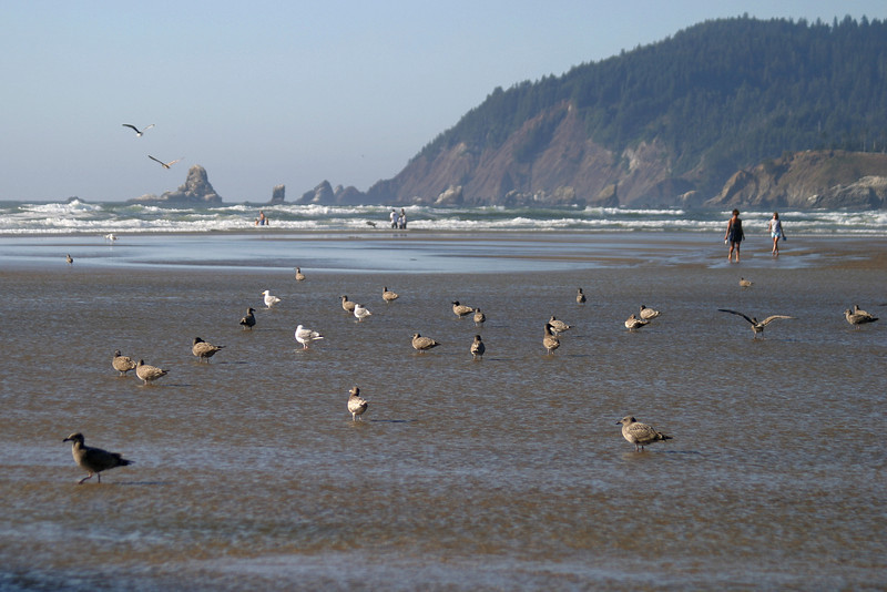 A view of the tide going out at Cannon Beach with a beach full of seagulls. Cannon Beach is located on the Oregon coast and borders on the Pacific Ocean.