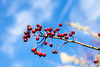 Red Berries Isolated Against The Sky