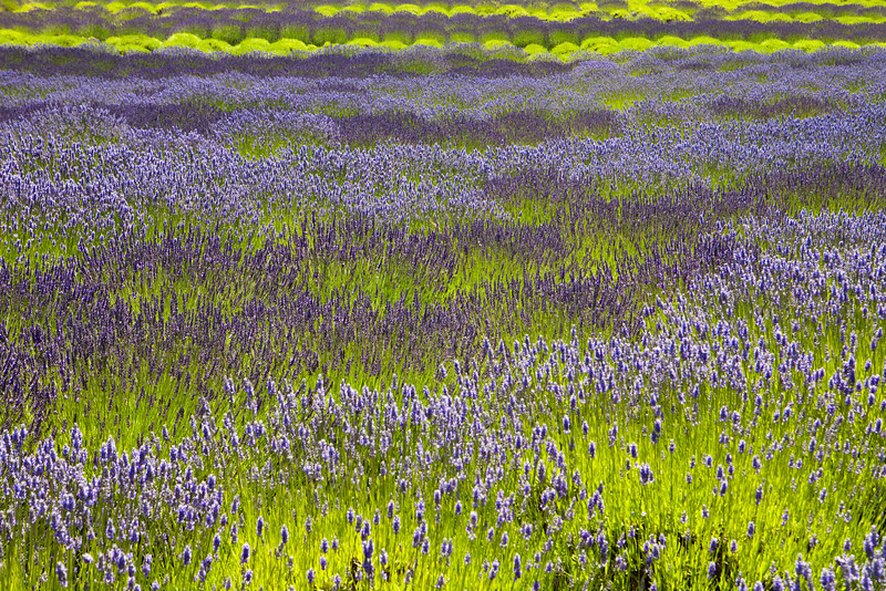 An organic lavender farm full of plants that need to be harvested. The field glows with the purple flowers contrasted with the bright green stalks.
