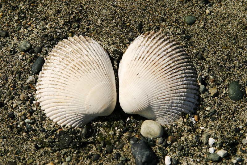 Two clam shells lying on a beach, surrounded by sand and pebbles.